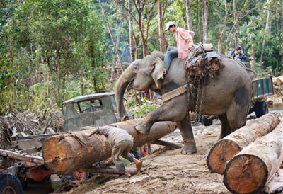Today the enormous strength of the elephants is still needed for hard work in the teak forests @ Birgit Neiser