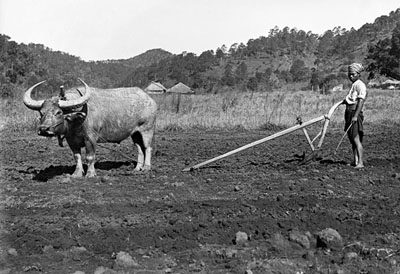 Plowing with a water buffalo @ Christine Scherman